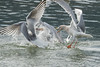Gulls fighting over Eulachon, Skeena River, northwestern British Columbia