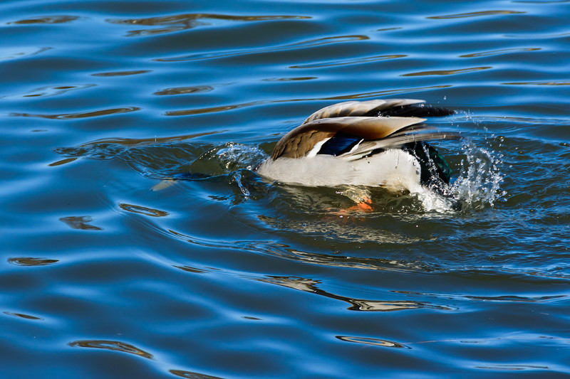 Female Mallard duck at Reifel Bird Sanctuary in Ladner, British Columbia