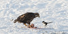 Juvenile Bald Eagle and Magpie sharing Chum Salmon, Chilkat River, Haines, Alaska