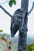 Barred Owl perched in a birch tree in northwester British Columbia