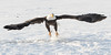 Adult Bald Eagle taking off, Chilkat River, Haines, Alaska