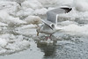 Gulls on the Skeena River, northwestern British Columbia