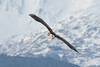 Juvenile Bald Eagle in flight over the Chilkat River, Haines, Alaska