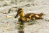Mallard Duckling at Reifel Bird Sanctuary, Ladner, British Columbia