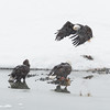 Adult and Juvenile Bald Eagles squabbling over Chum Salmon, Chilkat River, Haines, Alaska