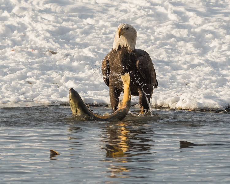 Adult Bald Eagle fishing for Chum Salmon, Chilkat River, Haines, Alaska