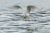 Gull take-off, Skeena River, northwestern British Columbia