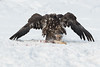 Juvenile Bald Eagle landing to claim a Chum Salmon on the Chilkat River, Haines, Alaska