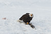 Adult Bald Eagle claiming a salmon at the Chilkat River, Haines, Alaska