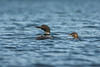 Common Loon and chick on a lake in northwestern British Columbia