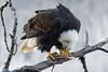 Adult Bald Eagle has taken a piece of Chum Salmon to a safe place, Chilkat River, Haines, Alaska