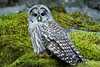 Barred Owl perched on a mossy cliff in northwester British Columbia