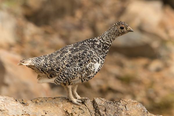 White Tailed Ptarmigan 2