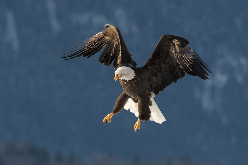 Adult Bald Eagle in flight over the Chilkat River, Haines, Alaska