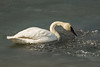 Trumpeter Swan swimming through coagualated frazil ice on a pond in northwestern British Columbia