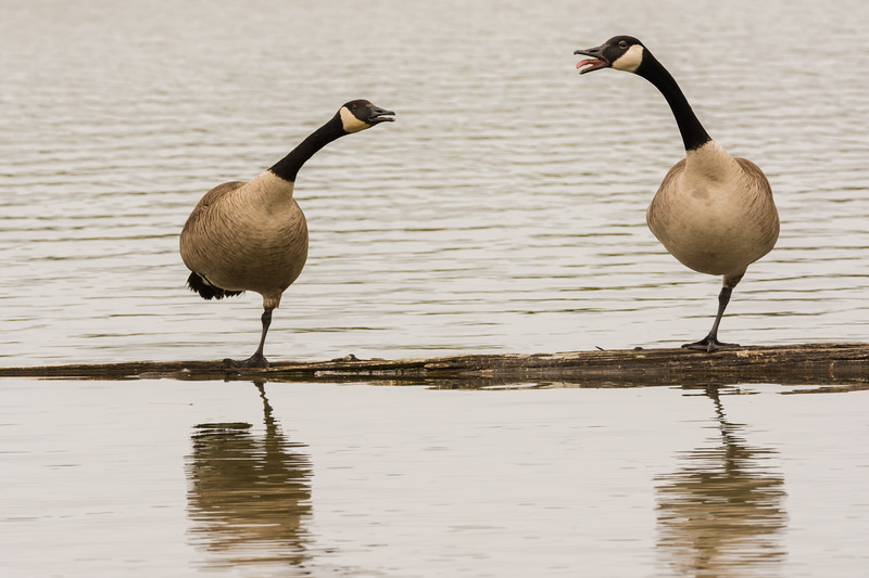 Canada Geese at Reifel Bird Sanctuary in Ladner, British Columbia