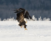 Adult Bald Eagle coming in for the landing, Chilkat River, Haines, Alaska