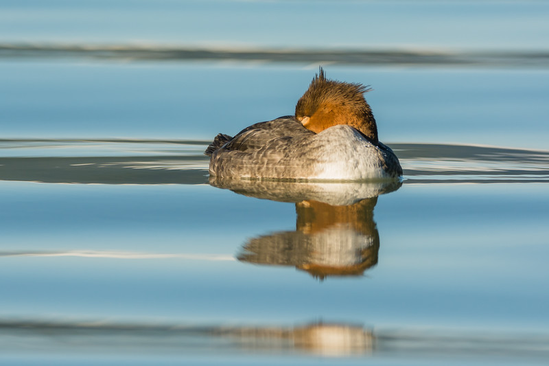 Common Merganser female on a lake in northwestern British Columbia