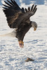 Juvenile Bald Eagle with salmon catch at the Chilkat River, Haines, Alaska