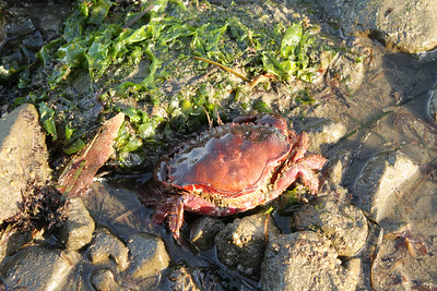 Crab. Mega Low Tide. Half Moon Bay, CA, USA
