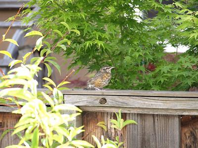 Baby American Robins (Turdus migratorius) in my backyard
