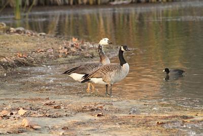 Canada Geese (Branta canadensis). Shadow Cliff Regional Park - Pleasanton, CA, USA