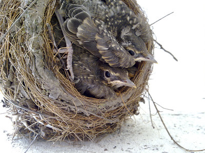 Baby American Robins (Turdus migratorius) in my backyard
