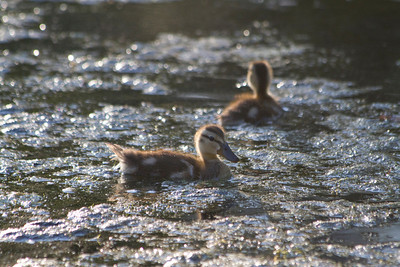 Ducks. American Whitewater Rafting - Placerville, CA, USA