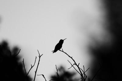 Hummingbird. Augustin Bernal Park - Pleasanton, CA, USA