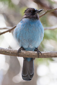 Steller's Jay (Cyanocitta stelleri). Vernal Fall Foot Bridge - John Muir Trail - Yosemite National Park