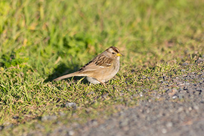 Immature Golden Crowned Sparrow (Zonotrichia atricapilla). Coyote Hills Regional Park - Fremont, CA, USA