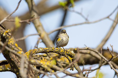 Yellow Rumped Warbler (Dendroica coronata). Arroyo Del Valle Trail - Pleasanton, CA, USA