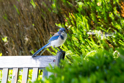 Western Scrub Jay (Aphelocoma californica). Pleasanton, CA, USA
