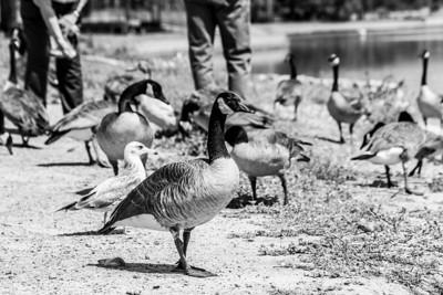 Canada Geese (Branta canadensis). Lake Elizabeth/Fremont Central Park - Fremont, CA, USA
