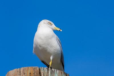 Seagull. Fremont Central Park - Fremont, CA, USA