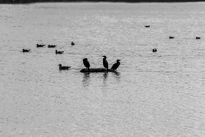 Brandt's Cormorant (Phalacrocorax penicillatus). Lake Elizabeth/Fremont Central Park - Fremont, CA, USA