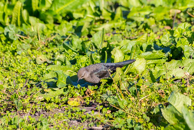 Female Brewer's Blackbird (Euphagus cyanocephalus). Fremont Central Park - Fremont, CA, USA