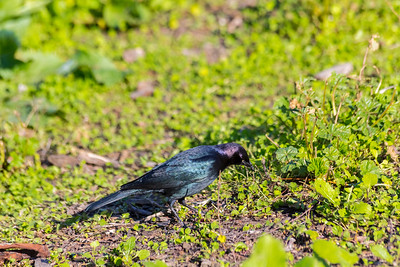 Male Brewer's Blackbird (Euphagus cyanocephalus). Fremont Central Park - Fremont, CA, USA