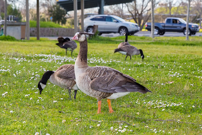 In the foreground is a possible hybrid between Canada Goose (Branta canadensis) & Greater White Fronted Goose (Anser albifrons). In the background is Canada Geese (Branta canadensis). Shadow Cliffs Regional Park - Pleasanton, CA, USA