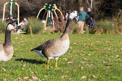 Goose. Lake Chabot Regional Park - Castro Valley, CA, USA
