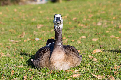 Canada Goose (Branta canadensis). Lake Chabot Regional Park - Castro Valley, CA, USA