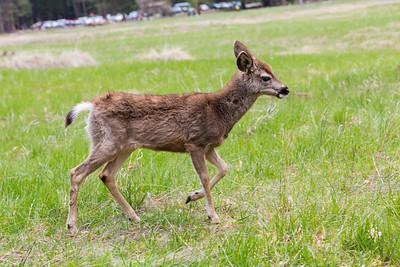 Mule Deer (Odocoileus hemionus). Cook's Meadow - Yosemite National Park