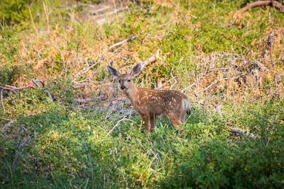 Mule Deer (Odocoileus hemionus). Road up to Panoramic Point. King's Canyon National Park, CA, USA