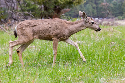 Mule Deer (Odocoileus hemionus). Cook's Meadow - Yosemite National Park