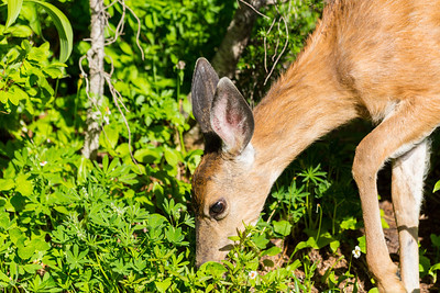 Mule Deer (Odocoileus hemionus). Paradise. Mount Rainier National Park - Washington, USA