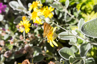 "Daisy Bush ""Sunshine"" (Brachyglottis greyi). UBC Botanical Garden - Vancouver, BC, Canada"