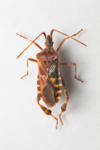 Kissing Bug Macro