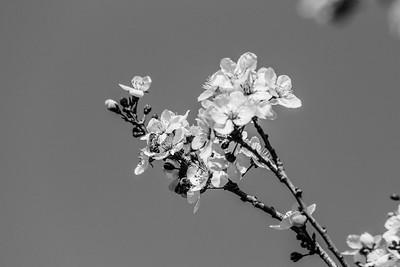 Bee on Cherry Blossoms. Pleasanton Tennis & Community Park - Pleasanton, CA, USA