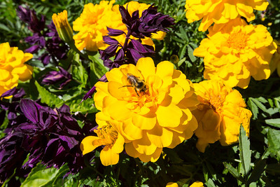 Marigold (Calendula officinalis) (yellow) and Mealycup Sage (Salvia) (purple). Sunken Garden. Butchart Gardens - Brentwood Bay, BC, Canada
