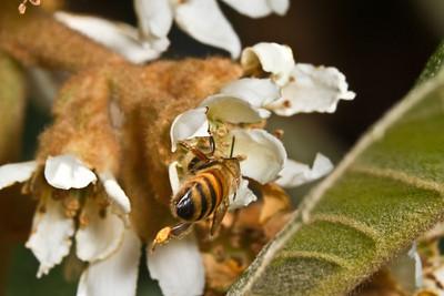 Bee on Loquat Flower Macro.